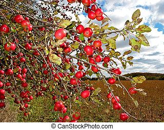 röda äpplen, på, äpple träd
