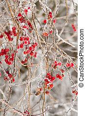 röda bär, in, den, vinter