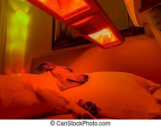 röda lätta, terapi, hund