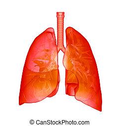 röntgenaufnahme, lungen, menschliche , rotes