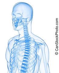röntgenaufnahme, menschliches skelett