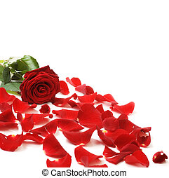 rött rosa, &, petals, gräns