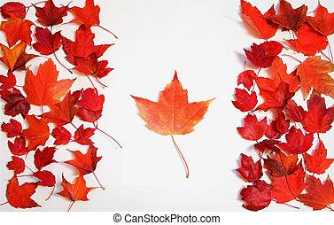 rød ahorn, blade