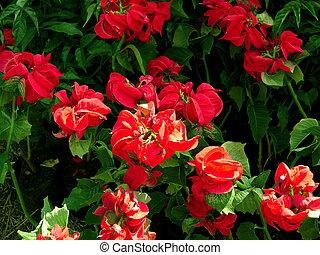 rød blomstrer