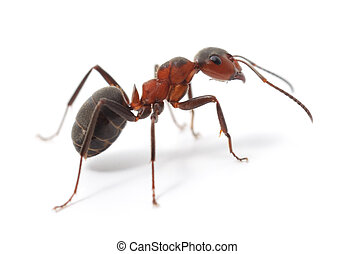 rød myre, isoleret