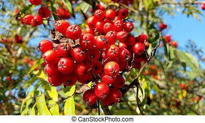 rød, rowan, hos, grønnes forlader, close-up