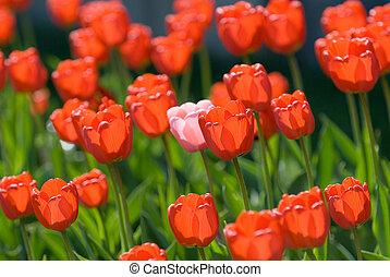 rød, tulipaner
