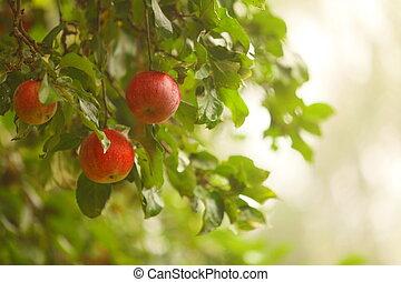 rødt æble, i tiltagende, på, træ., naturlig, products.