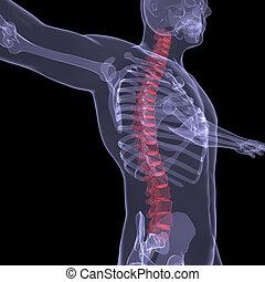 rückgrat, röntgenaufnahme, menschliche