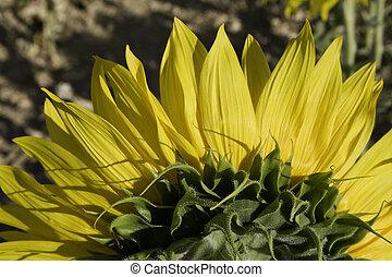 rückseite, gelber , sonnenblume, ansicht