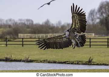 Rüppell's griffon vulture coming in to land
