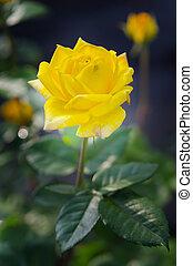 růže, detail, květ, zbabělý, názor