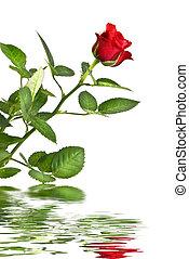 růže, neposkvrněný, odraz, červeň, osamocený