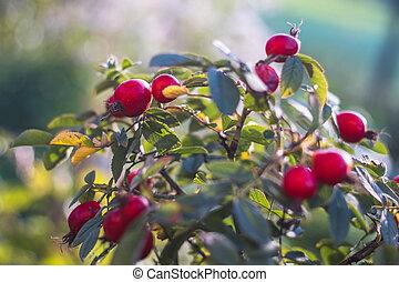 růový křovisko, hurá, mladický list, červeň