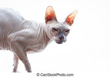 raça,  sphynx, gato