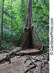 raíz, árbol, contrafuerte