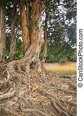 raíz, bosque, contrafuerte