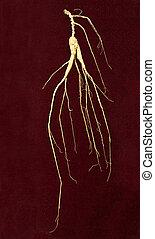 raíz de ginsén