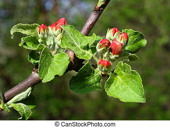 rašit, apple-tree, červeň