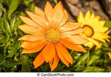 rašit, list, nezkušený, slunečnice