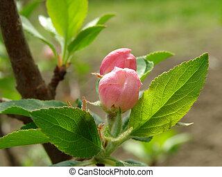 rašit, strom, jablko