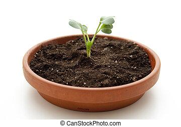 rabanete, planta, em, flores, terras