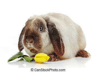 rabbit and yellow tulip