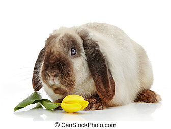 rabbit and yellow tulip