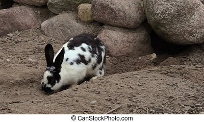 Rabbit digs passages near cave