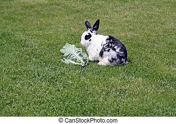 rabbit eating cabbage