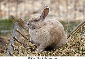 Rabbit eating hay - Rabbit eats hay, pet, manual beige furry