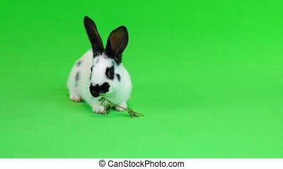 rabbit eats hay on a green screen