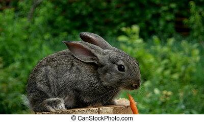 Rabbit. Feeding animal - Cute rabbit eating carrot from...