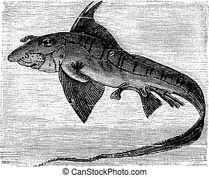 Rabbit Fish or Rat Fish or Chimaera monstrosa vintage engraving