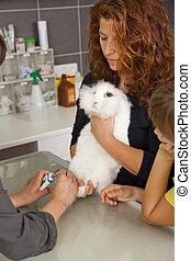 rabbit getting claws cut - A white domestic rabbit getting...