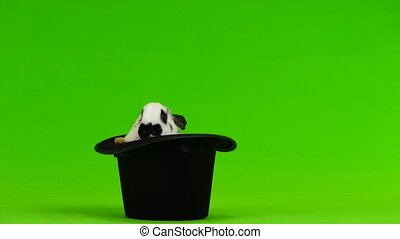 rabbit hip-hats on a white screen