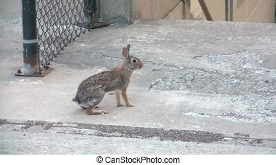 Rabbit Hopping Away into Woods - Tracking clip of rabbit on...