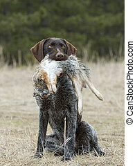 Hunting dog with a Cottontail Rabbit