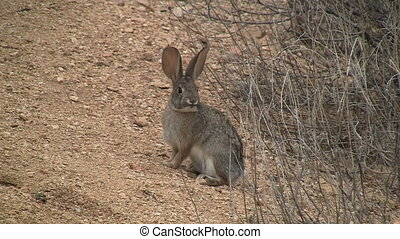 Rabbit In Sonoran desert.