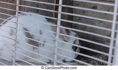 Rabbit in the rabbit hutch eating cabbage and hay.