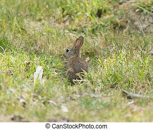 Rabbit in the wild