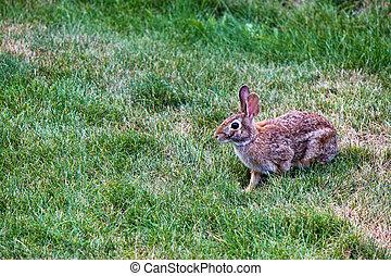 Rabbit in the yard
