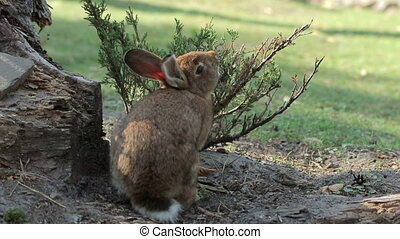 Rabbit Itches About Spruce - Rabbit itches about spruce with...