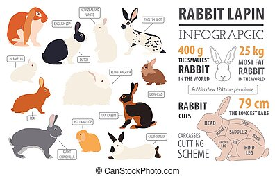 Rabbit, lapin breed infographic template. Flat design....