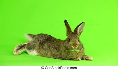 rabbit lies on the green screen (three months old) studio...