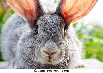 Rabbit muzzle - Image of cautious grey bunny muzzle looking...