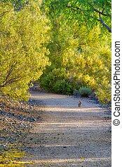 Rabbit on an Arizona Trail Under Verde Trees in Bloom