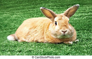 Rabbit on grass - Image of cautious rabbit in green grass...