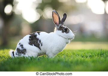 Rabbit on green grass.