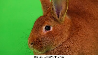 rabbit on green screen - portrait rabbit( six months) on...